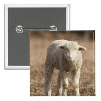Central Pennsylvania, USA,Domestic sheep, Ovis Pins