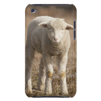 Central Pennsylvania, USA,Domestic sheep, Ovis iPod Case-Mate Cases