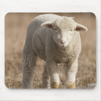Central Pennsylvania, USA,Domestic sheep, Ovis Mouse Pad