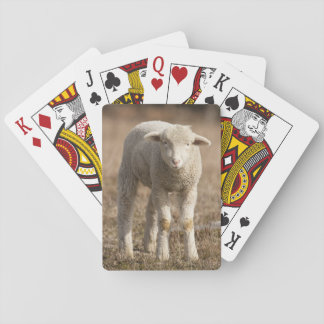 Central Pennsylvania, USA,Domestic sheep, Ovis Playing Cards