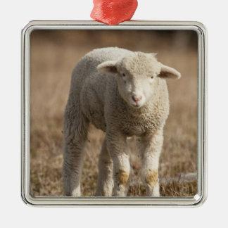 Central Pennsylvania, USA,Domestic sheep, Ovis Christmas Ornaments