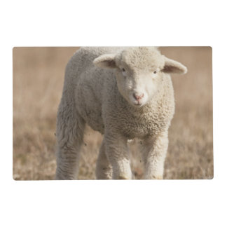 Central Pennsylvania, USA,Domestic sheep, Ovis Placemat