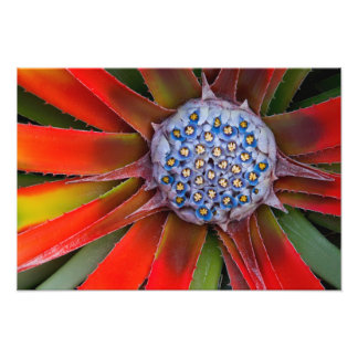 Centro de un agavo floreciente - San Francisco Arte Fotografico