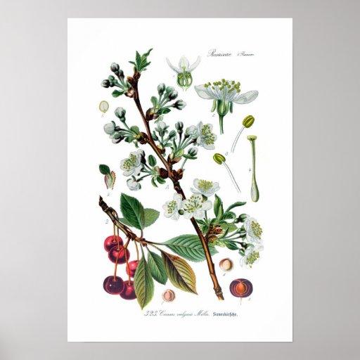 Cerasus vulgaris (Cherry) Print