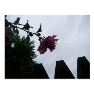 Cerca color de rosa del rocío melancólica postal