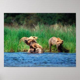 Cerda con el poster/la impresión de Cubs de oso Póster