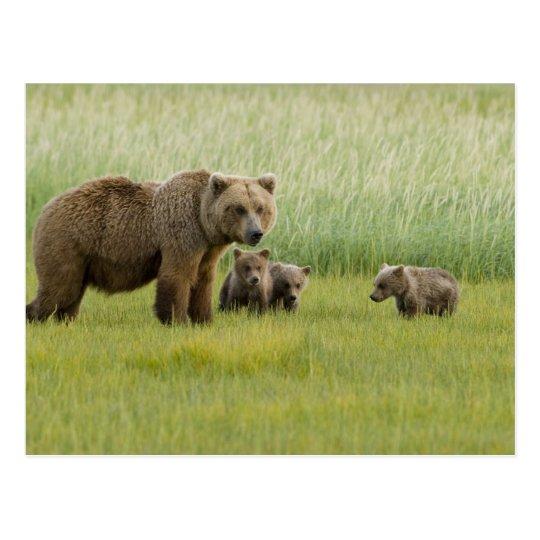 Cerda de Alaska y tres Cubs, Ursus del oso de Tarjeta Postal