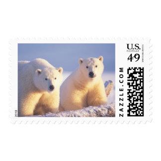 Cerda del oso polar con el cachorro en el hielo de sellos