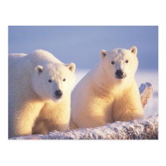 Cerda del oso polar con el cachorro en el hielo de postal