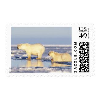 Cerda del oso polar con el cachorro, hielo de sellos