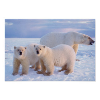 Cerda del oso polar con los cachorros en el hielo  póster