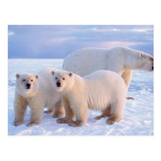 Cerda del oso polar con los cachorros en el hielo postal
