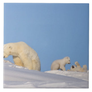 Cerda del oso polar que alimenta en hierba para co azulejo cuadrado grande