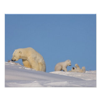 Cerda del oso polar que alimenta en hierba para co impresiones