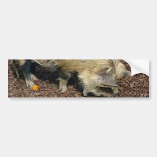 Cerdo de Kunekune Etiqueta De Parachoque