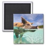 Cerdo de la natación de Exuma Imán Cuadrado