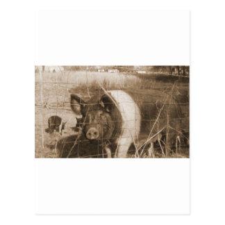 cerdo de los años 60 postales