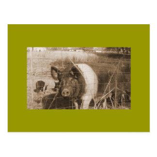 cerdo de los años 60 tarjetas postales