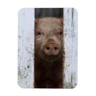 Cerdo de mirada lindo pero triste del bebé que imanes