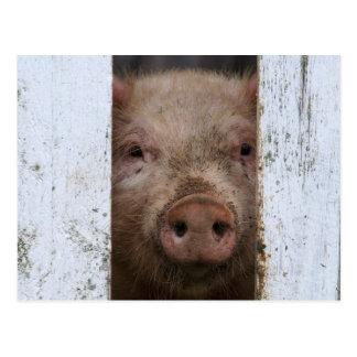 Cerdo de mirada lindo pero triste del bebé que postales