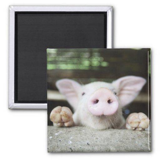 Cerdo del bebé en la pluma, cochinillo imán cuadrado