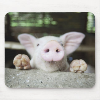 Cerdo del bebé en la pluma, cochinillo mousepads