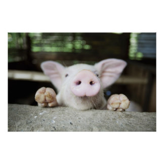 Cerdo del bebé en la pluma, cochinillo posters