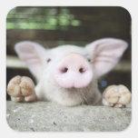 Cerdo del bebé en la pluma, cochinillo pegatina cuadrada