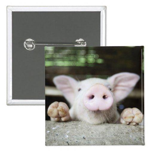 Cerdo del bebé en la pluma, cochinillo pins