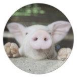 Cerdo del bebé en la pluma, cochinillo platos para fiestas
