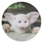 Cerdo del bebé en la pluma, cochinillo plato de comida