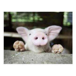 Cerdo del bebé en la pluma cochinillo postal