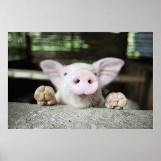 Cerdo del bebé en la pluma, cochinillo póster