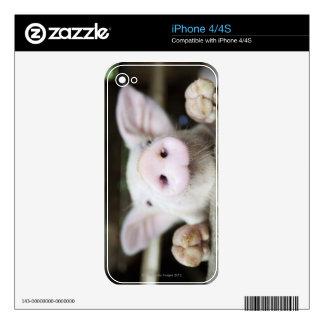Cerdo del bebé en la pluma, cochinillo skins para iPhone 4S