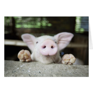 Cerdo del bebé en la pluma cochinillo tarjetas