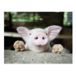 Cerdo del bebé en la pluma, cochinillo tarjetas postales