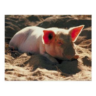 Cerdo en el Sun Tarjetas Postales