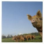 Cerdo en un campo azulejo cuadrado grande