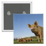 Cerdo en un campo pin cuadrado