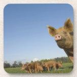 Cerdo en un campo posavasos de bebidas