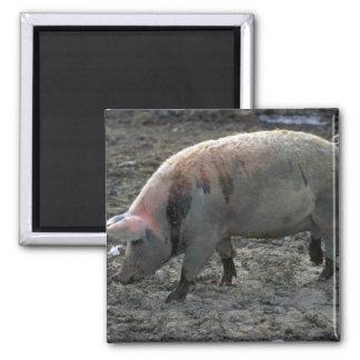 Cerdo Imán De Frigorífico