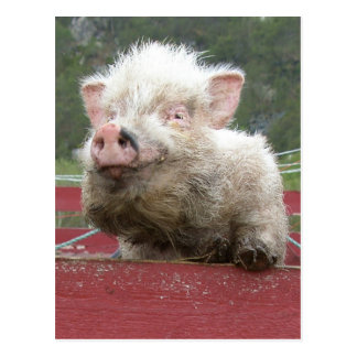 Cerdo miniatura 41a de Canadan Postales