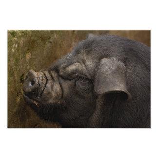 Cerdo nacional en el pueblo de Hani Yuanyang Yun Impresiones Fotograficas