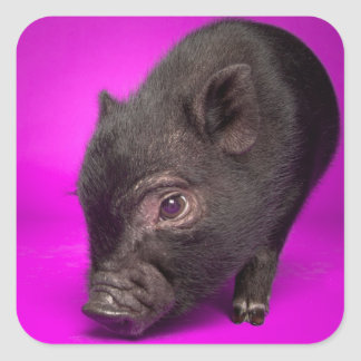 Cerdo negro del bebé pegatina cuadrada
