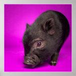 Cerdo negro del bebé póster
