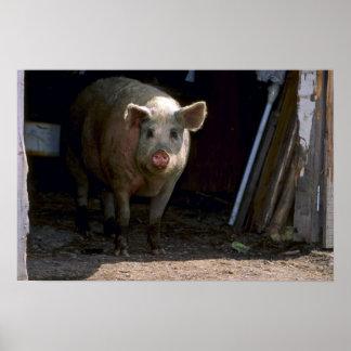 Cerdo Póster