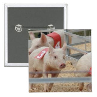 Cerdo que compite con el cochinillo rosado número  pin cuadrado