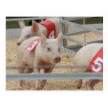 Cerdo que compite con el cochinillo rosado número  tarjetas postales