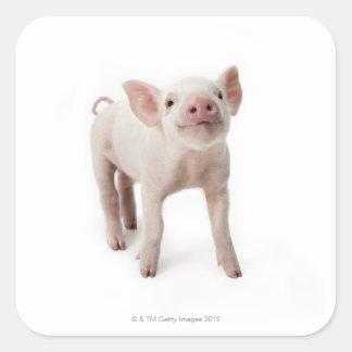 Cerdo que se coloca de mirada para arriba pegatina cuadradas