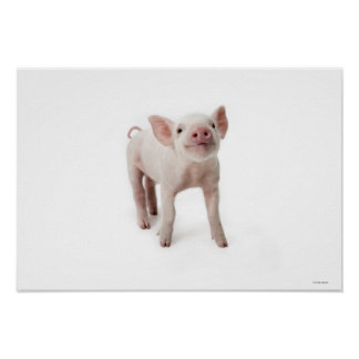 Cerdo que se coloca de mirada para arriba póster